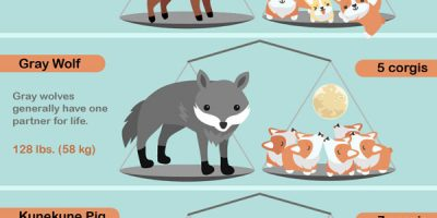 The Animal Kingdom Weighed By Corgis