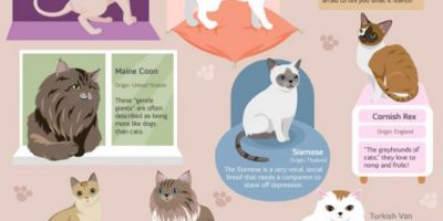 Guide for Cat Breeds {Infographic}