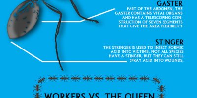 The Life of a Fire Ant [Infographic]