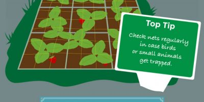 How to Grow Strawberries [Infographic]
