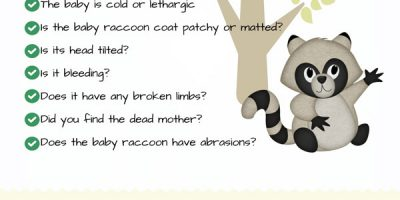 What To Do If You Found a Baby Raccoon?