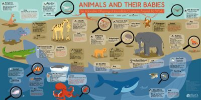 Animals & Their Babies Infographic