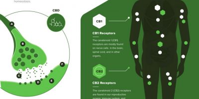 How Cannabinoids Work in the Body [Infographic]