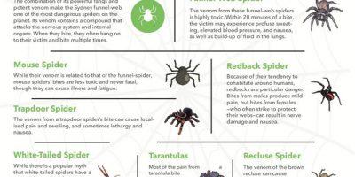 10 Deadliest Spiders in Australia [Infographic]